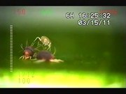 File:Lying-down-with-protective-setae-as-an-alternative-antipredator-defence-in-a-non-webbing-spider-mite-40064 2013 672 MOESM2 ESM.ogv
