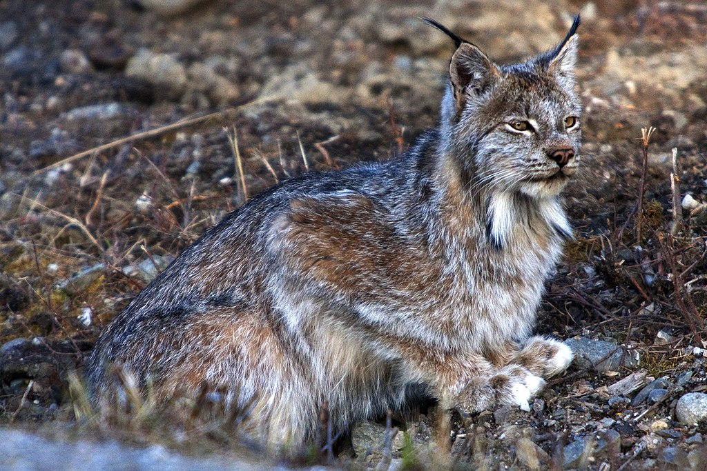 """Lynx (5302398562)"" by Denali National Park and Preserve (NPS Photo/Neil Blake) - LynxUploaded by AlbertHerring. Licensed under CC BY 2.0 via Wikimedia Commons - https://commons.wikimedia.org/wiki/File:Lynx_(5302398562).jpg#/media/File:Lynx_(5302398562).jpg"