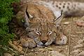 Lynx romagnano (2430886086).jpg