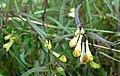 Mélampyre des prés (Melampyrum pratense)FL5flower.jpg