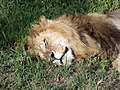 Maasai Mara National Park.Sleeping Lion - panoramio.jpg