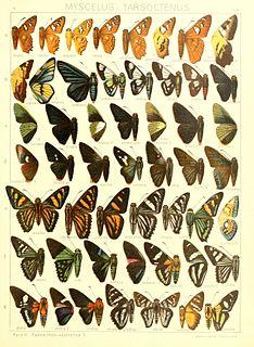 <i>Myscelus</i> genus of insects