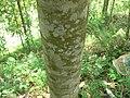 Magnolia chevalieri01.JPG