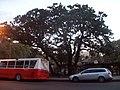 Magnolia histórica 2.JPG