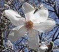Magnolia salicifolia flower 2.jpg