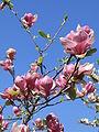 Magnolia x soulangeana Lennei 03.jpg