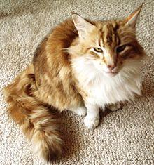 Maine Con Cats For Sale Czech Republic