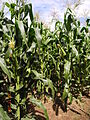 Maize crops, Hope and Kindness (6908818253).jpg