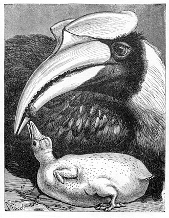 Great hornbill - Illustration by English zoological artist T. W. Wood showing the eyelashes, worn bill edge and the concave casque with ridged sides