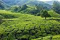 Malaysia - Cameron Highlands (26159416696).jpg