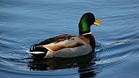 Male Mallard quack.JPG