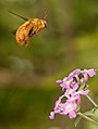 Male valley carpenter bee in flight with flower.jpg