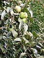 Malus domestica. Pumar, mazanal (frutu).jpg