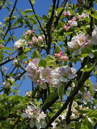 Flowering plant - Flowers of Malus sylvestris (crab apple)