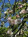 Malus sylvestris inflorescence, Vosseslag, Belgium.jpg