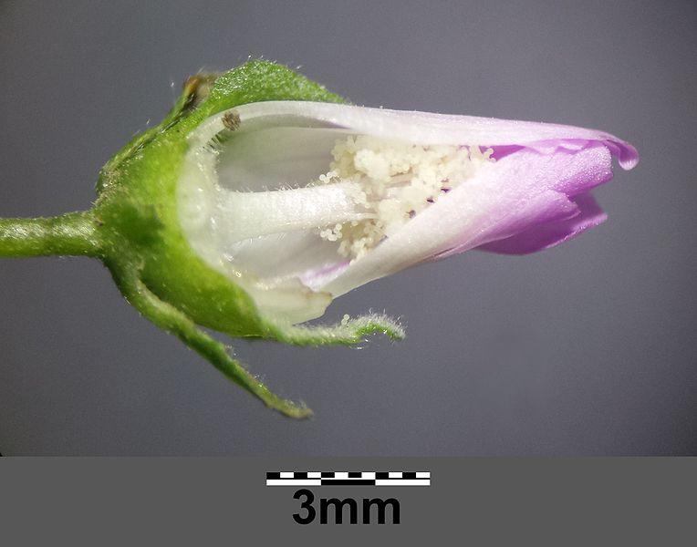 File:Malva neglecta sl5.jpg