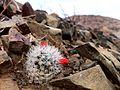 Mammillaria tetrancistra (Common fishhook cactus) (14209254336).jpg