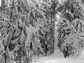 Man standing on trail at Woodland Park in winter surrounded by snow-covered trees, Seattle, between 1906 and 1907 (SEATTLE 6133).jpg