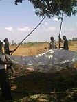 Mangoes been harvested Kothy Vantersa 2011 2014-01-18 06-56.jpg