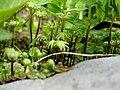 Marchantia polymorpha (parapluutjesmos).JPG