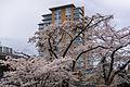 Marine Drive Cherry Blossoms.JPG