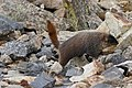 Marmota flaviventris (29813947441).jpg