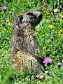 Marmottes en Vanoise (5).JPG