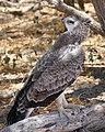 Martial Eagle (Polemaetus bellicosus) juvenile ... (31240849197).jpg