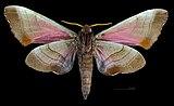 Marumba gaschkewitschii echephron MHNT CUT 2010 0 51 Male ventral.jpg