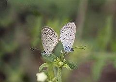 240px mating pair of zizula hylax (fabricius, 1775) %e2%80%93 tiny grass blue mg 1134