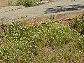 Matricaria chamomilla plant (19).jpg