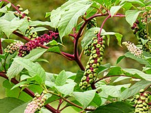 Mature Pokeweed.jpg
