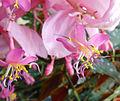 Medinilla kinabaluensis.jpg
