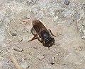 Megachile (Chalicodoma) (32364323235).jpg