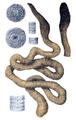 Megascolides australis by Bartholomew.png
