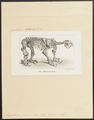 Megatherium cuvierii - skelet - 1700-1880 - Print - Iconographia Zoologica - Special Collections University of Amsterdam - UBA01 IZ21000121.tif