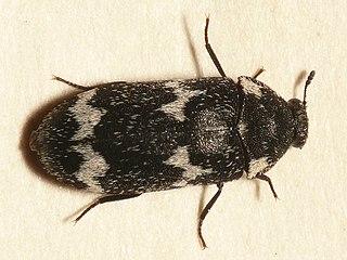 Megatominae subfamily of insects