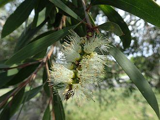Melaleuca quinquenervia - Melaleuca quinquenervia growing in Woolgoolga