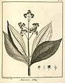 Melastoma alata Aublet 1775 pl 158.jpg