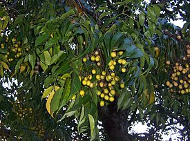 Melia azedarach fruits.JPG
