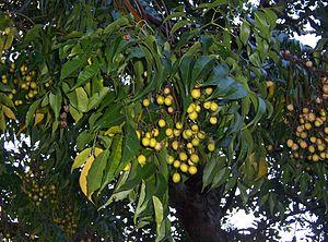 Melia (plant) - Melia azedarach