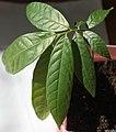 Meliosma pinnata seedling III, by Omar Hoftun.jpg
