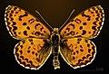Melitaea didyma MHNT CUT 2013 3 26 male Cahors Dorsal.jpg