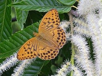 Argynnini - Male Argynnis sagana, sometimes treated as Damora sagana
