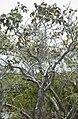 Metopium toxicodendron, Poisonwood. Turtle ponds. (24005627967).jpg