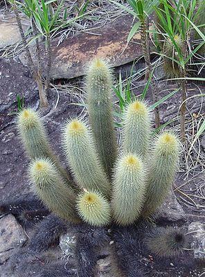 Micranthocereus auri-azureus.jpg