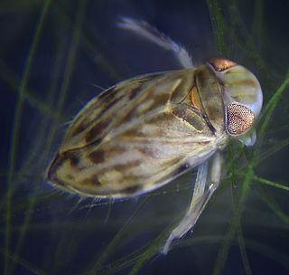 Micronectinae