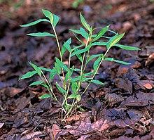 Microstegium viminium specimen.jpg