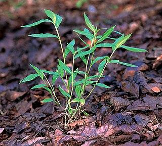 <i>Microstegium vimineum</i> Annual grass