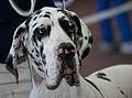 Miezynarodowa wystawa psow rasowych katowice 2012 3.jpg